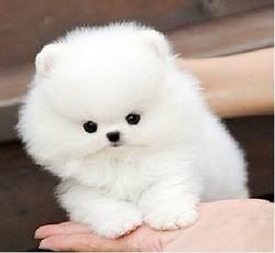活体小狗茶杯犬迷你袖珍犬哈多利博美犬幼犬小型犬宠物犬狗狗2