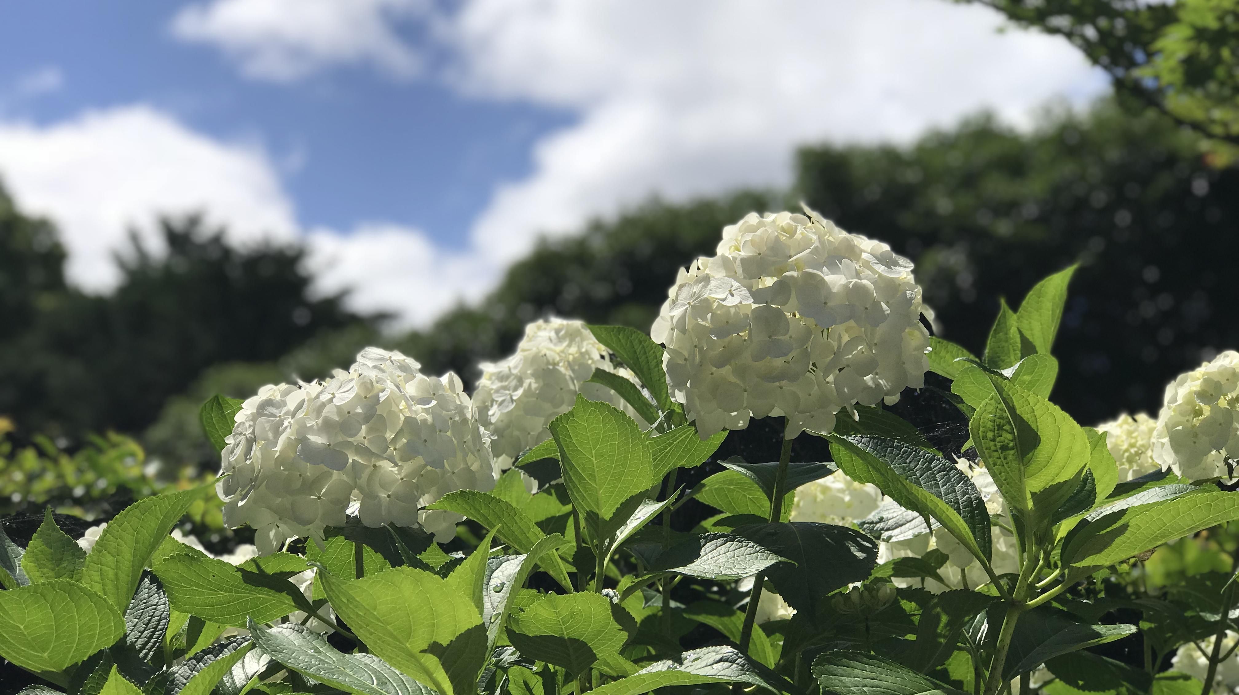 去京都看紫阳花,梅雨季独自美丽