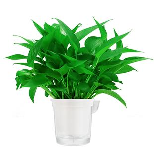 【顺丰包邮】除甲醛盆栽室内植物绿萝
