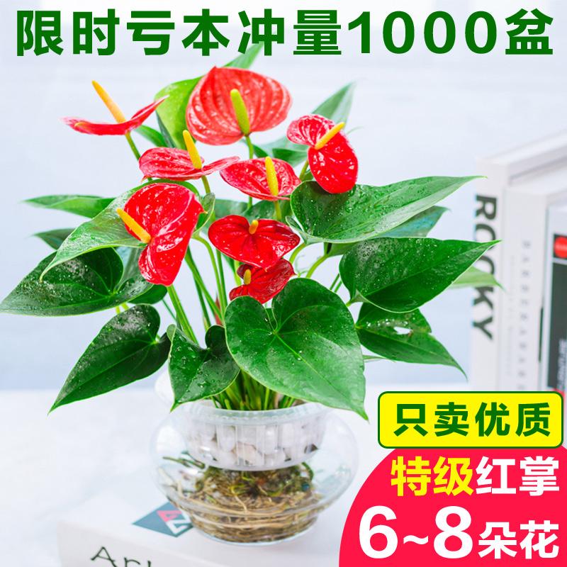 水培红掌盆栽白掌植物一帆风顺室内懒人花卉水养鸿运当头四季花大