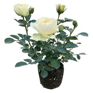 玫瑰花苗大花带花苞观花绿植物蔷薇