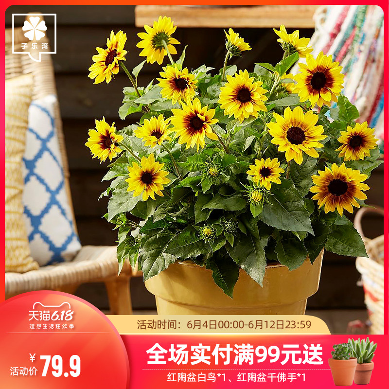 光辉岁月向日葵盆栽带花苞四季开花花量大阳台庭院耐热花卉太阳花