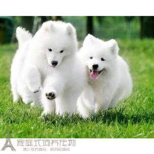 出售纯种萨摩耶幼犬家养g宠物狗狗