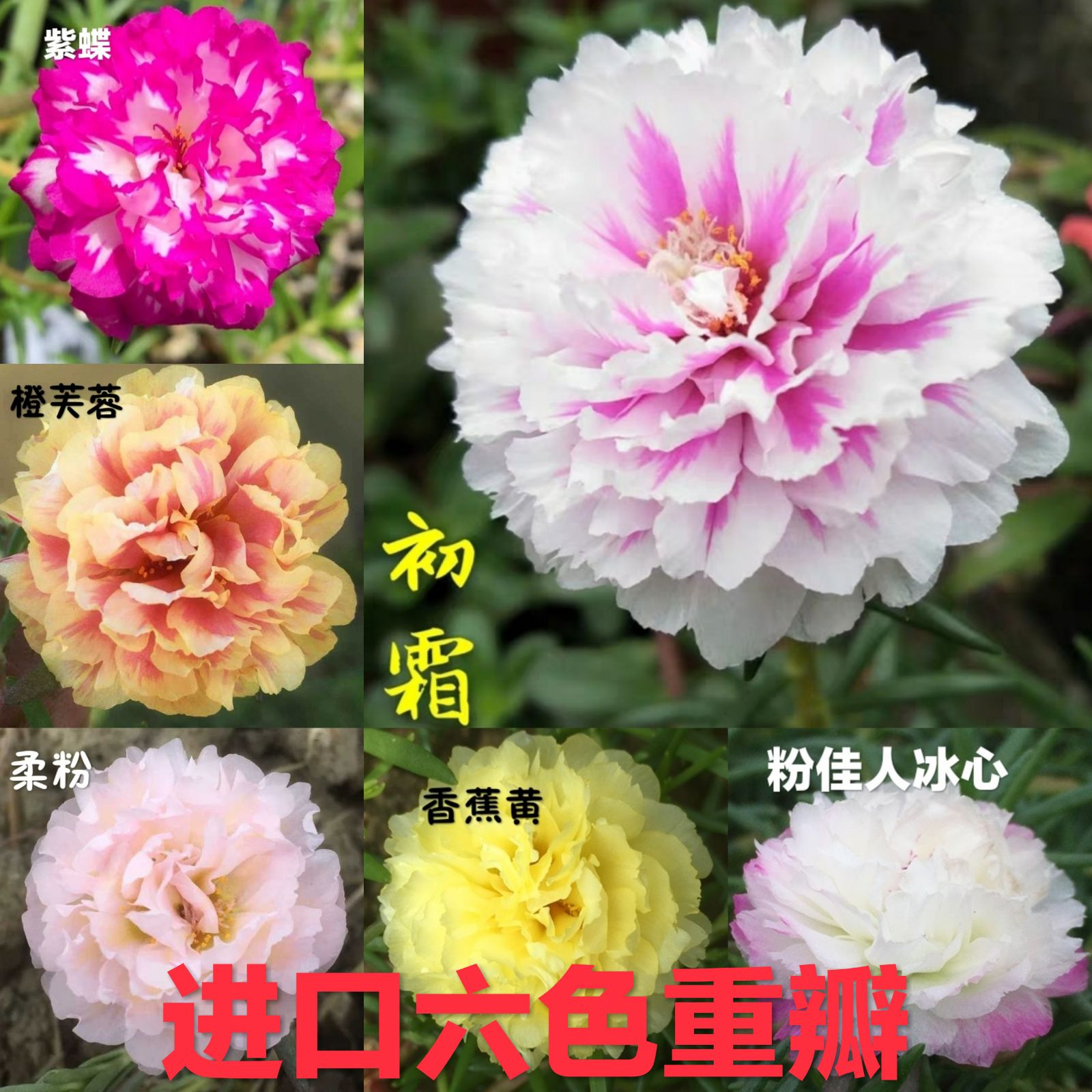 新品进口重瓣太阳花苗盆栽植物宿根太阳花开花不断阳台庭院带花苞
