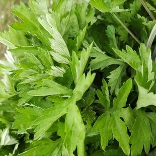 正宗蕲艾苗药用艾草苗盆栽驱蚊草艾种大叶艾草根艾草种子四季种植