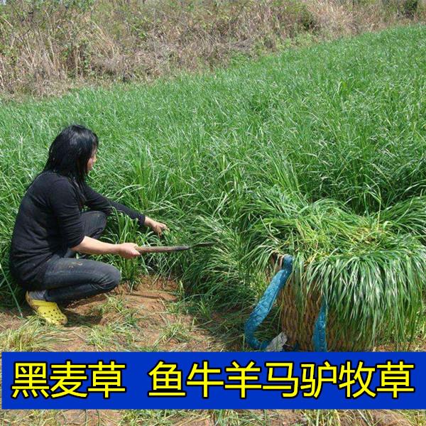 新品马羊牛鱼草种子四季青牧草种子南方北方多年生牛羊黑麦草四季