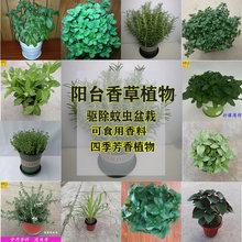迷迭香盆栽薄荷食用植物西餐料理ar12料气味os净化空气