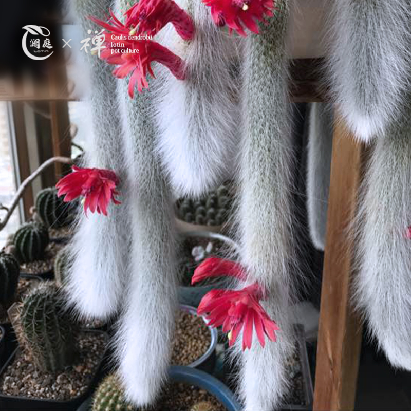 九尾狐盆栽进口长毛多肉植物稀有品种猴尾柱开花仙人掌室内小盆景