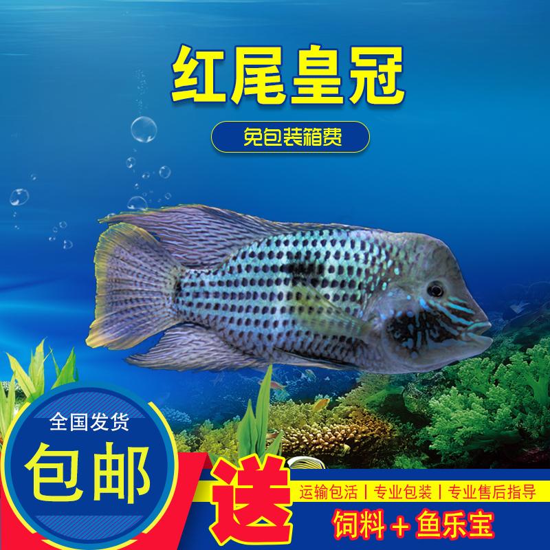 起头公红尾皇冠蓝宝石玉面皇冠鱼凶猛易养淡水鱼热带鱼观赏鱼活体