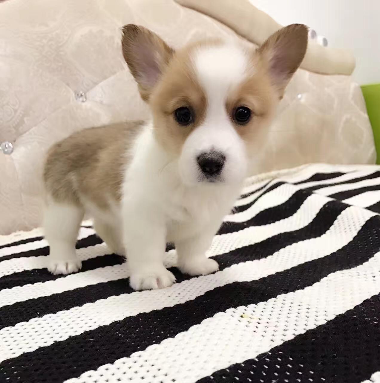纯种柯基犬幼犬中小型犬黄白两色柯基三色威尔士小短腿柯基活体