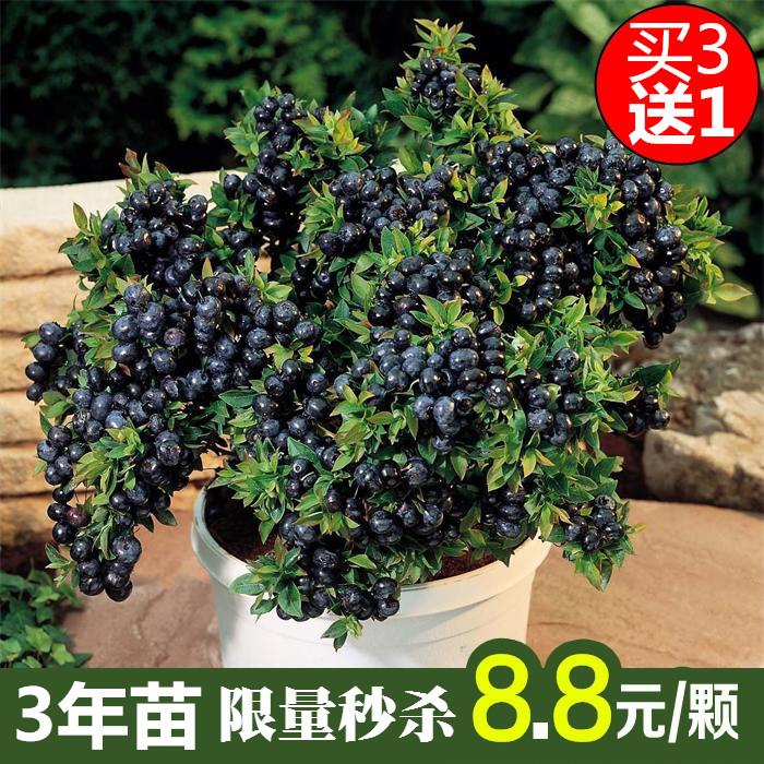 果树苗盆栽地栽蓝莓苗南北方种植蓝莓树苗庭院蓝莓苗当年结果
