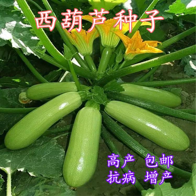 高产 西葫芦 种子 大田 阳台 盆栽 绿皮 黄皮 香蕉 蔬菜