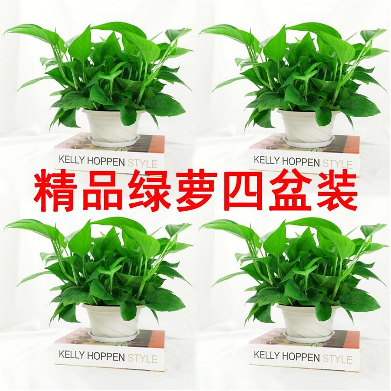大吉祥绿萝盆栽植物室内吸除甲醛大叶长藤水培绿箩吊兰花卉绿植