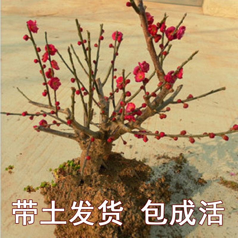 原生梅花盆景腊梅老桩红梅树苗耐寒植物带花苞浓香型庭院花卉盆栽