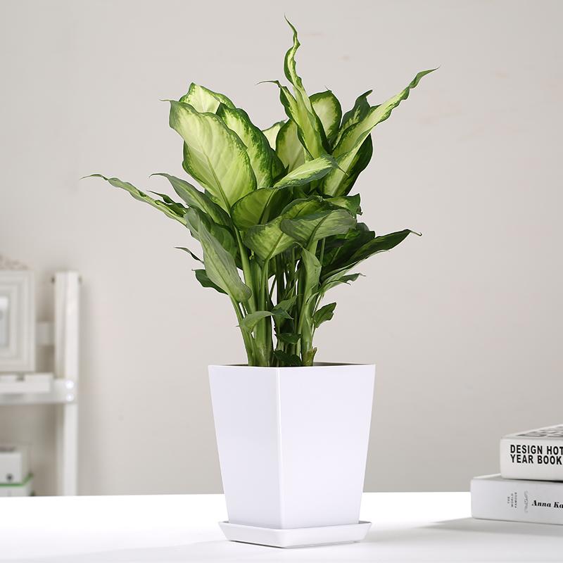 水培花叶万年青粉黛银皇后玛丽安盆栽绿植园艺桌面室内除甲醛植物