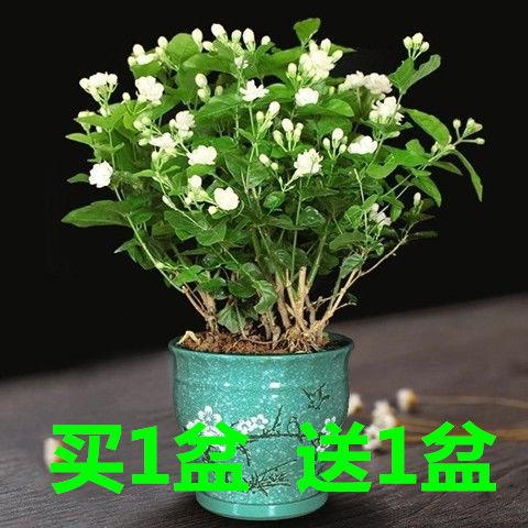 虎头茉莉花苗盆栽四季绿植花卉老桩树植物开花不断