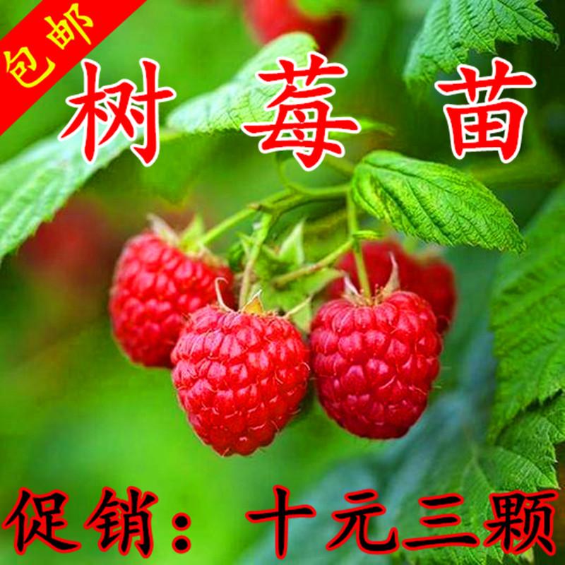 野生双季树莓覆盆子树苗树莓苗黄红树莓苗南方北方盆栽地栽果树苗
