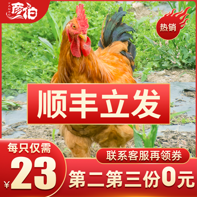 正宗散养土鸡走地鸡肉三黄鸡草鸡笨鸡农家老母鸡新鲜现杀冷冻整只