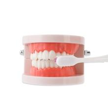 牙科牙齿模型教学模型假牙模si10口腔器ya工具练习演示用
