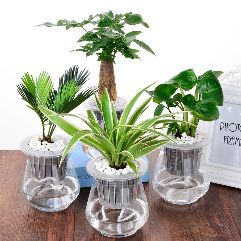 绿箩吊兰室内花卉绿植水培植物含玻璃花盆栽发财树吸甲醛净化空气