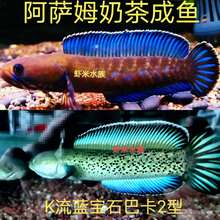 蓝帆阿萨姆奶茶雷龙鱼七hn8幻红蓝宝nc苗子冷水观赏中(小)活体