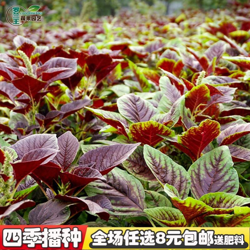 【新花红苋菜种子】四季播高产青菜种子苋菜籽阳台盆栽蔬菜种子