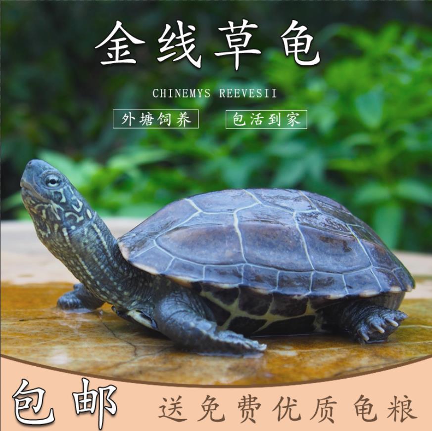 乌龟活体 中华草龟外塘金线龟小观赏龟墨龟苗招财水龟宠物龟活物