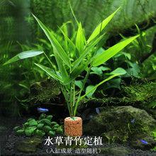 鱼缸水yt0活体青竹cc装饰真草中后景天然定植阴性懒的好养
