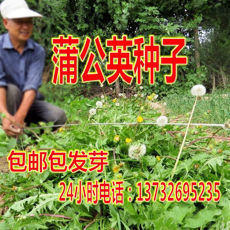 散装大叶蒲公英种子四季蒲公草 食用野菜特菜药用婆婆丁种子
