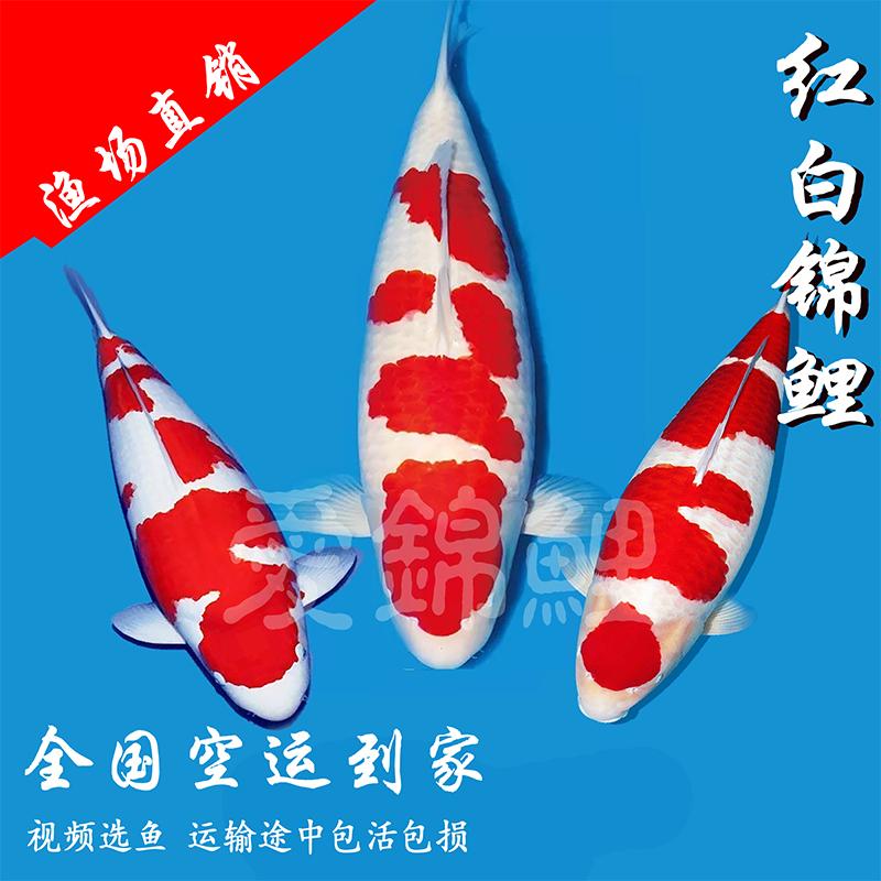 正宗精品日本红白锦鲤鱼苗 高端练手易养锦鲤 观赏冷水鱼活体包活