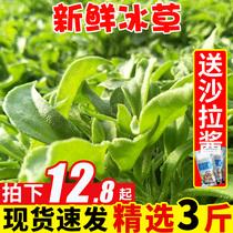 当季山东冰草新鲜蔬菜冰菜花3斤拌沙拉即食现摘生吃冰叶类包邮10