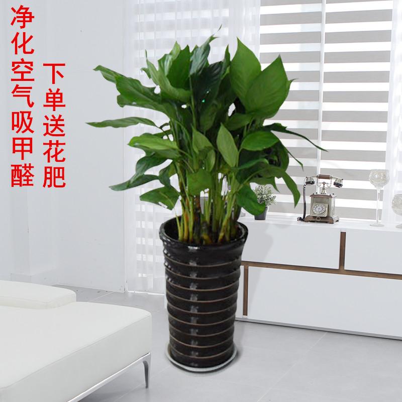 万年青 盆栽 植物 室内 外观 四季 常青 客厅 甲醛 植树