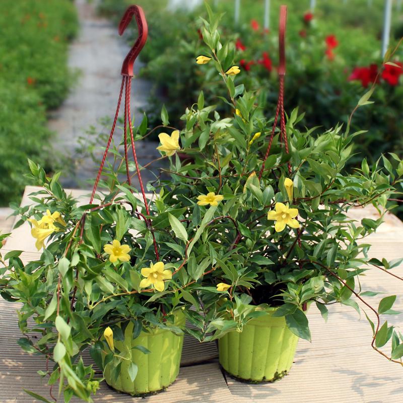 法国香水黄茉莉花苗浓香 爬藤植物 四季长青耐寒阳台绿植花卉盆栽