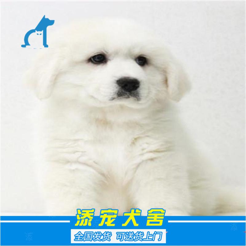 熊版巨型萨摩_【大白熊 狗狗】价格|参数|最新报价_狗狗图片-好牌子商城网