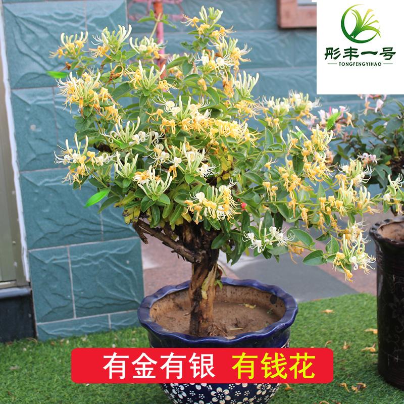 金银花苗树苗盆栽老桩爬藤庭院药用攀援藤本花卉植物成活当年
