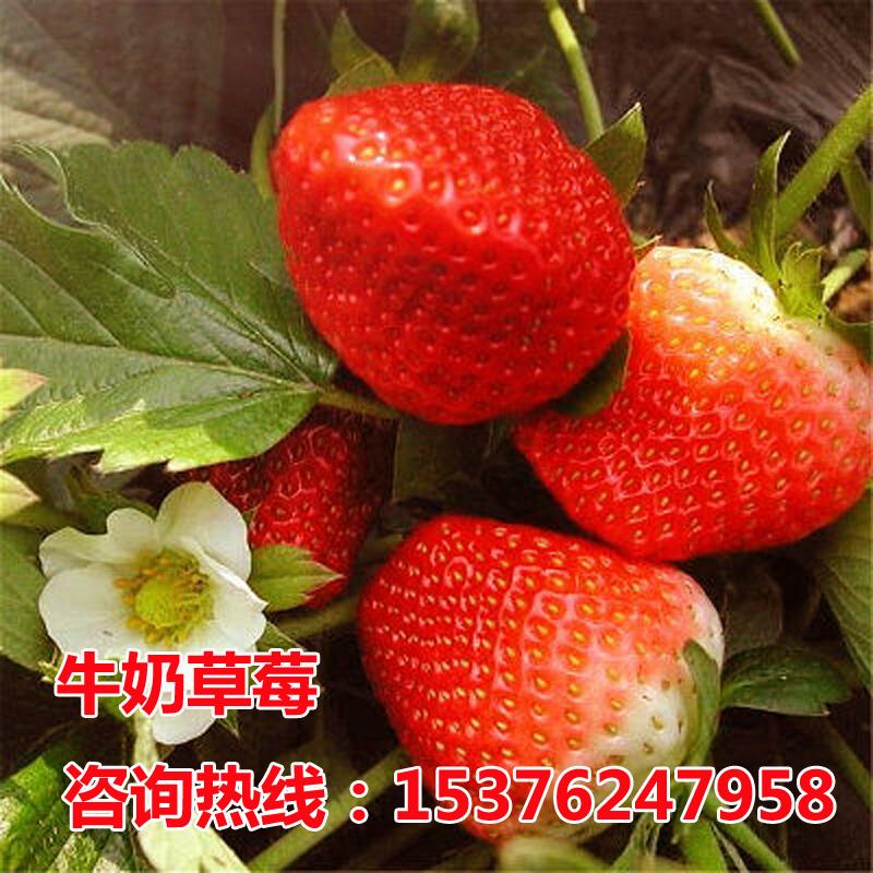 四季草莓苗南北方当年结果树苗红颜奶油甜宝草莓苗盆栽阳台种植