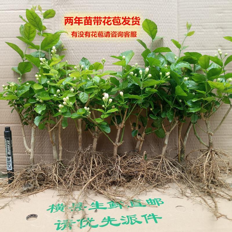 横县重瓣茉莉花 茉莉花盆栽盆景 2年龄茉莉花苗包邮室内阳台绿植