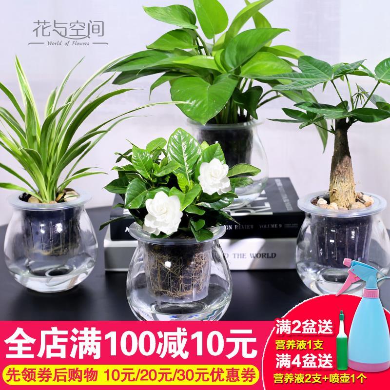 栀子花 发财树 常春藤 文竹 室内 绿色 植物 净化 空气 盆栽
