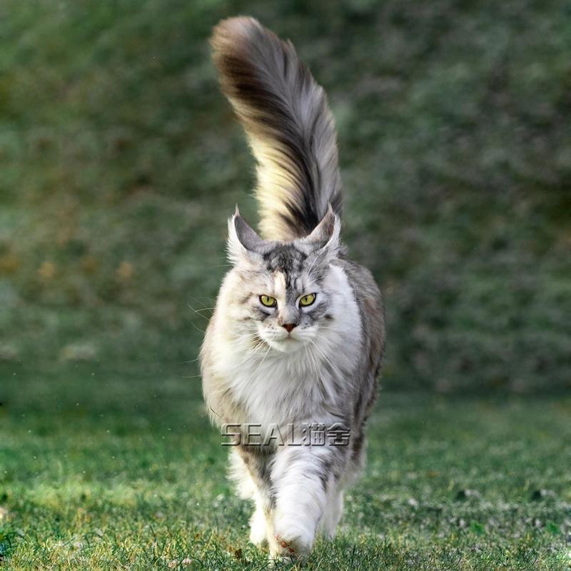 银虎斑缅因猫纯种巨型幼猫活体宠物猫幼崽出售挪威森林猫猫咪活物