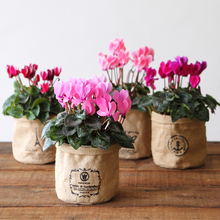 (小)花仙客来DORpo5Q多洛库ma来盆栽年宵花苗花卉仙客来带花