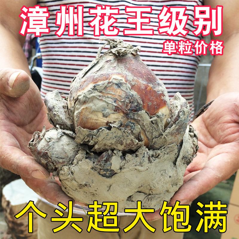 正宗漳州水仙大花王大种球稀有水培种球冬季室内水仙花种球