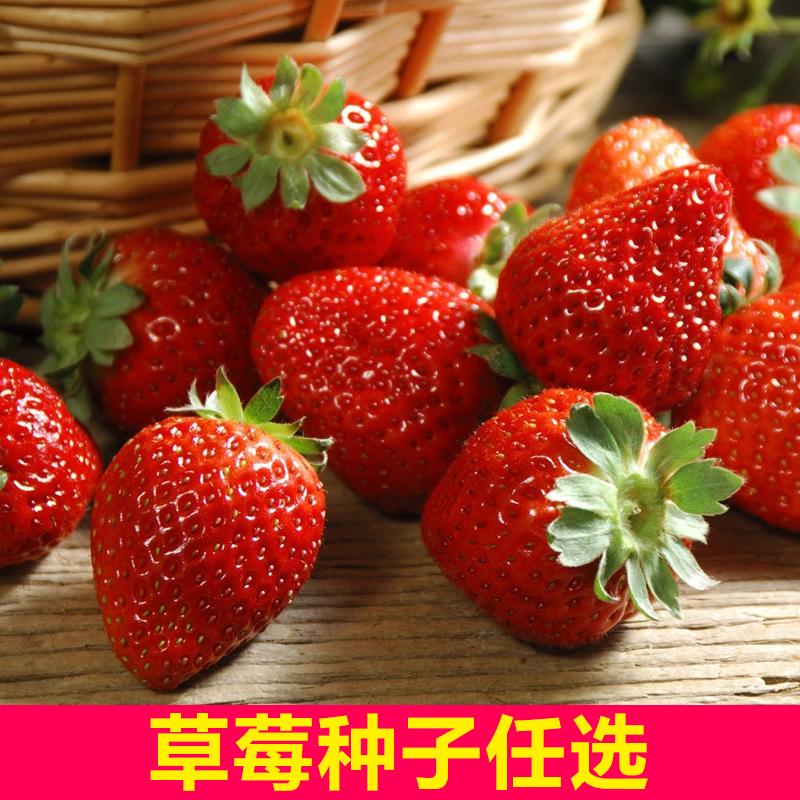 四季红草莓奶油白草莓种子水果草莓籽 阳台庭院四季易种 蔬果种子