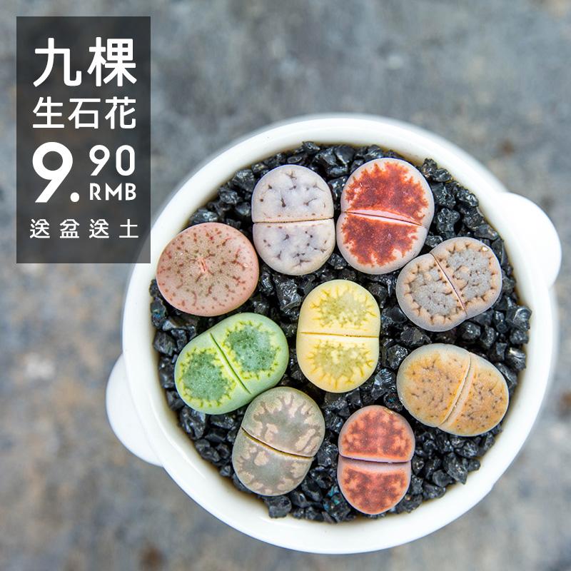 新品生石花组合套餐屁股花石头PP多肉植物盆栽含盆含土铺面好养活