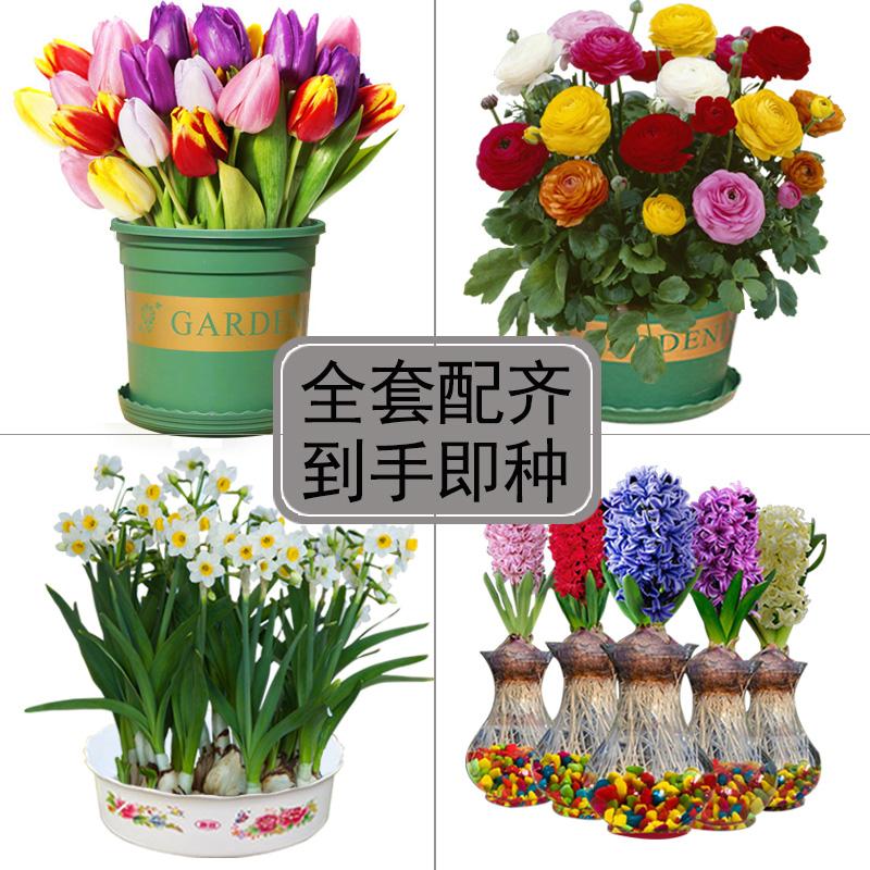 风信子种球套餐水仙水培盆栽年宵花郁金香室内种植花毛茛球根花卉