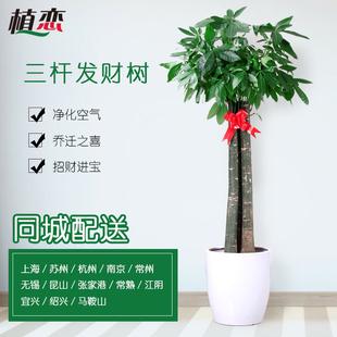 三杆发财树 大型盆栽植物花卉绿植发财树客厅 杭州上海南京配送