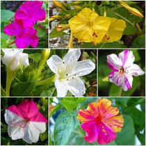紫茉莉花种子 夜来香盆栽地雷花园艺芳香 花卉种子春播花籽黄粉白