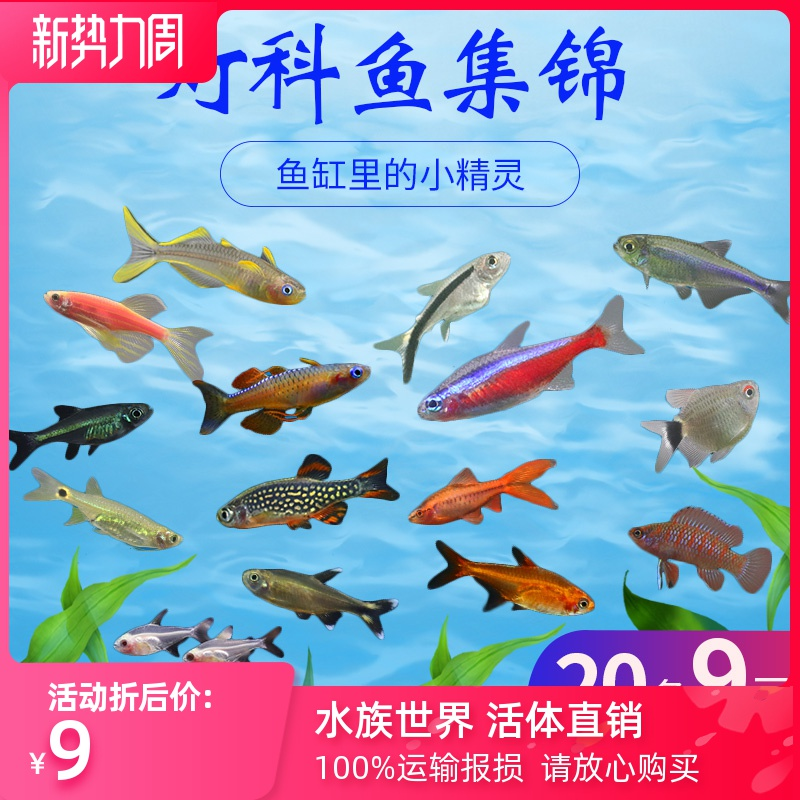 活体红绿灯鱼小型热带观赏鱼神仙宝莲灯斑马鼠鱼孔雀鱼淡水灯科鱼图片