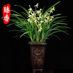 金丝马尾爪建兰素花兰花苗浓香金边绿植盆栽室内花卉好养美观铭品