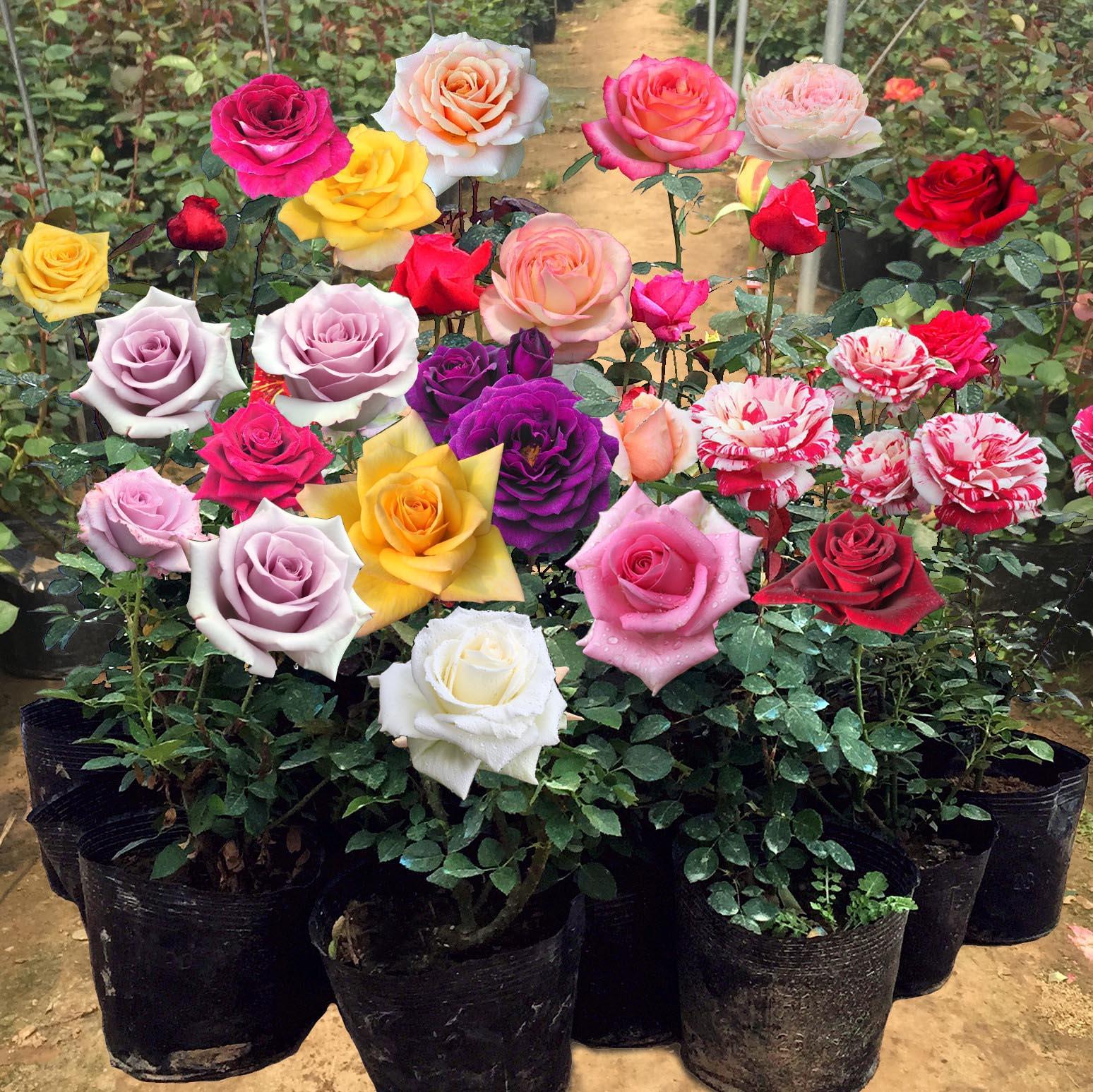 玫瑰花盆栽大花带花苞绿植物盆栽室内外花卉观