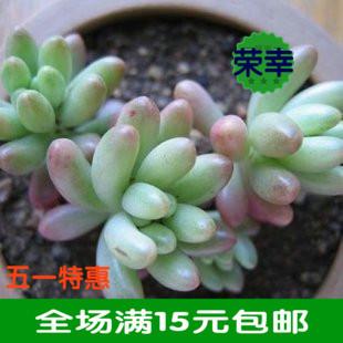 适合室内 办公小型盆栽迷你多肉景天仙人花卉(虹之玉)净化空气